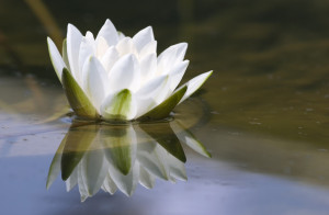 Bereavement water lily